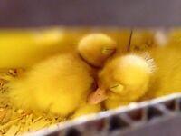 Pekin ducklings for sale