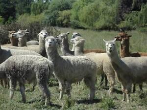 Stock Guard Alpaca's Armidale Armidale City Preview