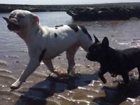 Two lovely bulldogs need a loving home