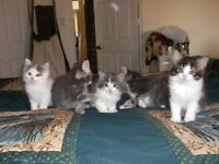 Free, Very Friendly, Adorable, fluffy, kittens!