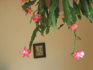 A very beautiful Epiphyllum /Orchid cactus  ( indoor plants )