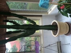 7 foot catcus with pot Cambridge Kitchener Area image 1