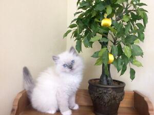 ****Purebred Ragdoll kittens****