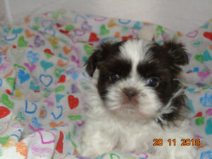 Shih Tzu Adopt Dogs Puppies Locally In Ontario Kijiji Classifieds