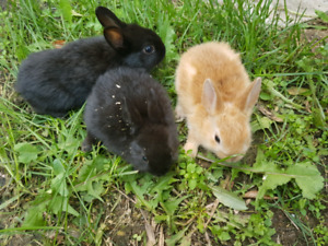8 dwarf bunny rabbit and one Rex cross bunny for sale