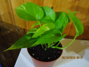 """Golden Pothos """"Marble Queen"""" - Air Purifying"""