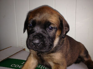 mastiff pups for sale