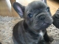 Blue French bulldog ready