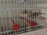 Canary birds for sale cheap