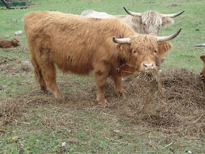 scottish highland 2 and 3 yr old hiefers