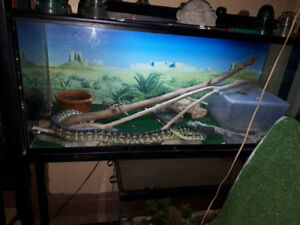 Jungle Carpet Python 2YO w/ Tank - $400 or BO