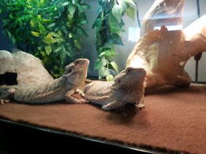 Two Bearded Dragons For Sale - Everything Included + Cabinet!!!