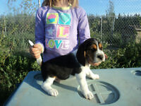 CKC Registered Beagles