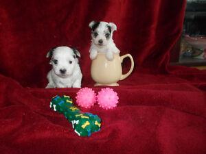 yorkie Biewer terrier and maltipoo