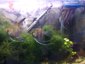 4x Angel Fishes