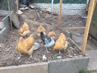 Buff Orpington chickens