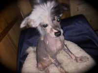 Chinese Crested Hairless Reserve now ...