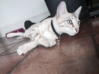 Pure snow Bengal 5 months male kitten