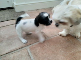 Jack russell in Norwich, Norfolk | Dogs & Puppies for Sale - Gumtree