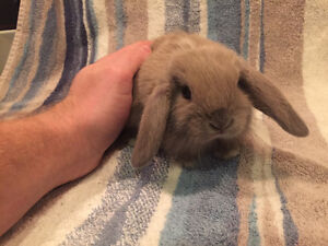 Pure Bred Holland lop babies! Hand raised!