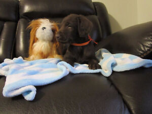 Gorgeous Labradoodle puppies
