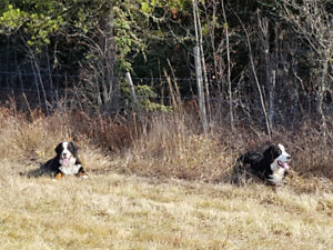 CKC Registered Pure Bred Bernese MD Pups