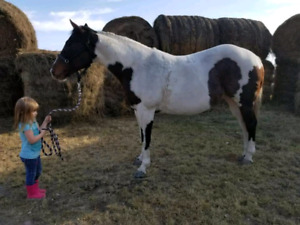 12 yr old Paint Mare