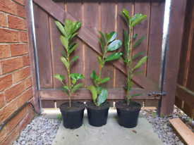 Cherry Laurel Hedging Trees Plants Evergreen, size 50 to 60cm