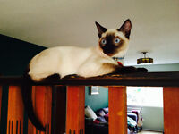 **LOST SIAMESE CAT** $250 REWARD for safe return!!