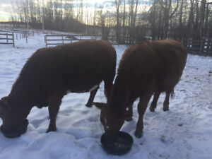 2 bred heifers for sale