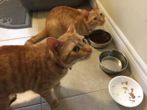2 orange tabby cat females