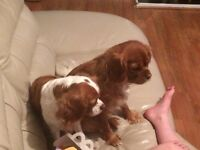 Cavalier King Charles for sale