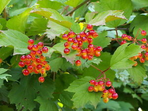 1 Guelder Rose Hedging Plant Viburnum Opulus Native Hedge,Flowers & Berries 2ft
