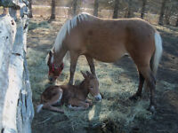 pony mare with mini molly mule filly