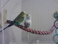 Two nice and friendly budgies for sale