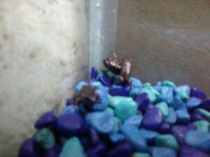 Baby Fire belly toads