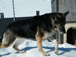 Non Registered German Shepherd adults available