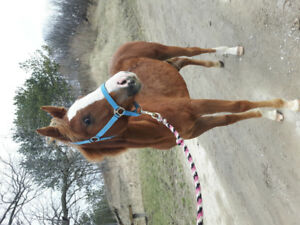 Yearling QH Filly