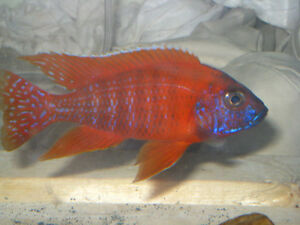 Juvenile Cichlids, 6 kinds, for sale London Ontario image 5