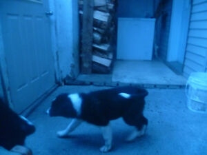 chiot borde collie pure rase thetford mines