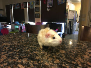 2  Female  Guinea Pig (FREE).  Burnaby and New Westminster