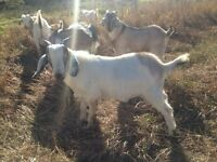 Meat Intact Bucklings Goats for sale.