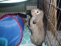 MINI HOLLAND LOP BUNNY - 6MOS OLD