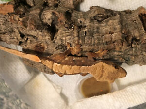 Red crested gecko hatchling.