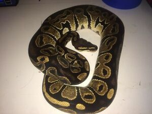 Year old ball python