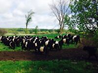 Belted Galloway beef bulls