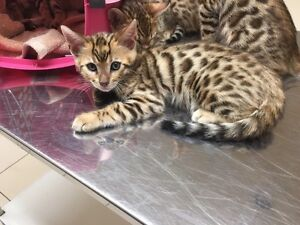 Asian Leopard Bengal Kittens Ready to Go Peterborough Peterborough Area image 4