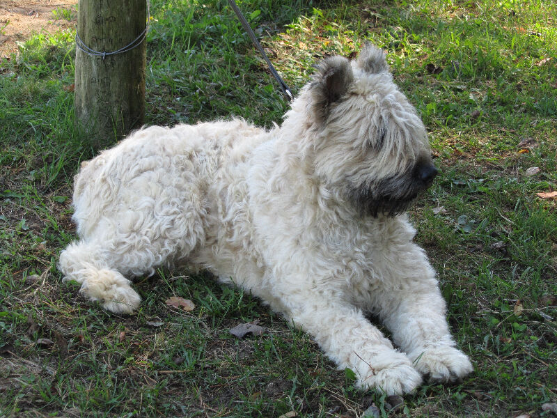White Aura Kennel Bouvier Des Flandres Dogs Puppies For Rehoming