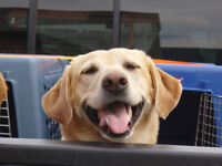Lost - Female Yellow Lab - 12 years old