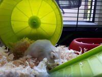 female dwalf hamster & cage